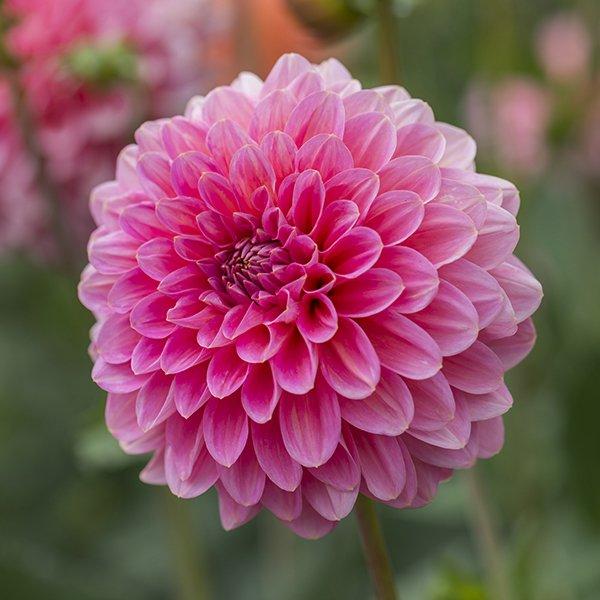 Dahlia 'Pink Runner'