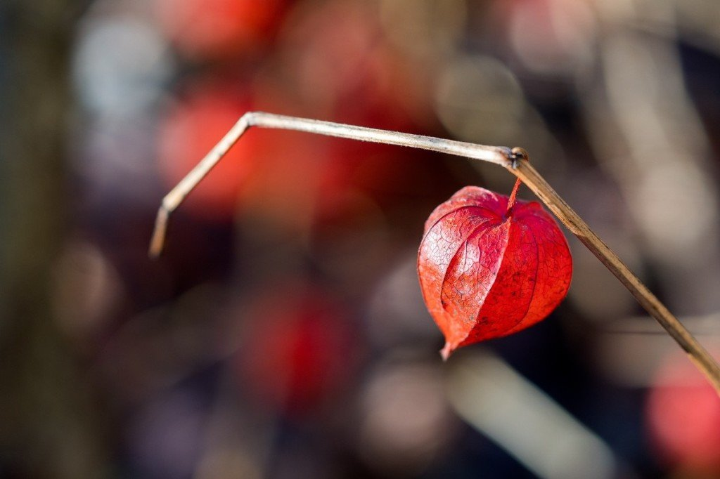 chinese_lantern_plant_red_beautiful_hanging_heart_love_alone_brunch-1377741